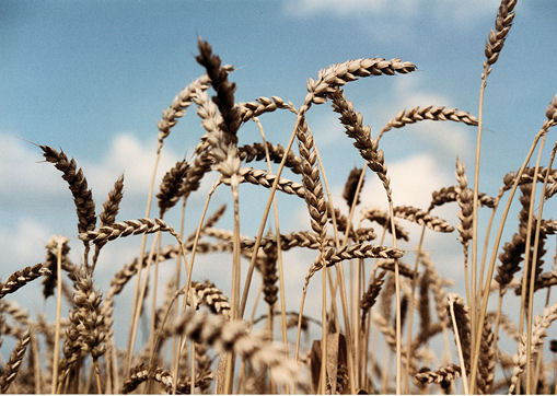 wheat heads waving in the breeze